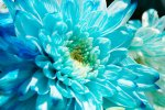 chryzantema niebieska